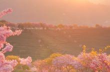 日暮樱花 | 你知道第一抹春色是哪里吗?