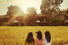 华丽丽的邂逅金灿灿的稻田