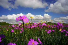 内蒙古赤峰市克什克腾旗乌兰布统大草原的那些花儿开的正艳。在这花的季节,请你到内蒙古来,这里的好客的蒙