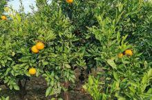 採橘子,吃饱了出来,一元一斤真便宜。