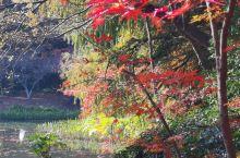 上海共青森林公园之秋色,上海森林公园,40年前是共青苗圃,今天过去走了一下,满园秋色,红枫,银杏为主