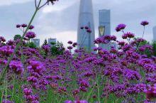 不用去普罗旺斯都可看到一大片紫色的花海