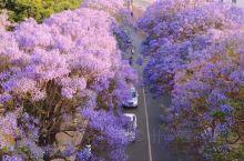 春夏限定绝美蓝花楹你一定要来昆明看