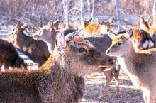 看鹿何须去奈良,来这里啊