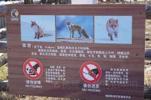 新疆喀纳斯景区内的小狐狸