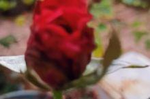 含苞待放的红玫瑰