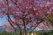 樱花树下的约定~记永福台品樱花园
