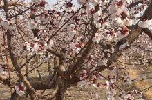 乌鲁木齐的杏花,刚开始开放。