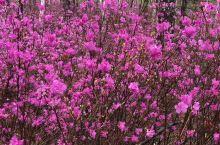 白桦林!!!最美的花达达香!野山杏