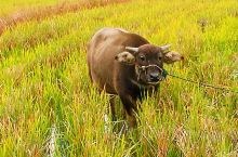 水牛、黄龙