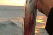 银白色的带鱼,不停的张开嘴巴像说什么!