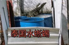 泰国水蜥蜴