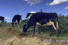 你们下班点,我们牛儿在悠闲吃完草回家呦
