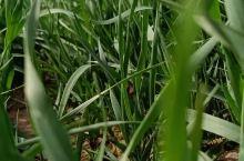 新疆的冬小麦