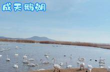 #发现旅途的色彩 这是今年二月份看天鹅拍的视频,每年的12月份至次年的3月份,都是到山东荣成天鹅湖观