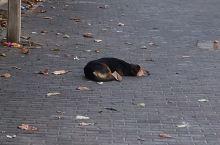 斯里兰卡懒狗篇--这儿到处都是热浪,所以狗狗也是慵懒的,随处可见躺着卧着打盹睡觉的懒狗。只有在Gal