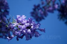 澳洲的蓝花楹,每年的10月中旬-11月中旬,满城蓝紫色,这是最美好的季节,也是最浪漫的季节,一起来这