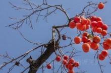 5月榴花红似火,秋季霜染柿子红。