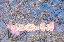 浦西滨江樱花地