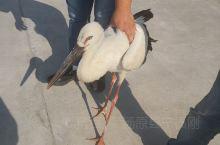 救助受伤的候鸟!