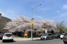 最美人间四月天,纽约的运动场边上樱花盛开