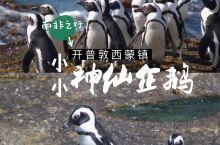南非西蒙镇企鹅滩,萌萌的小小神仙企鹅