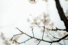 首尔 小众河岸樱花路