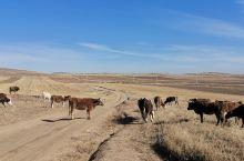 冬天的牛群。