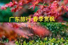 广东旅行|岭南春日,踏春赏枫