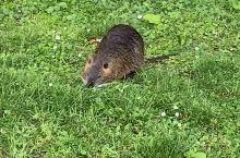 河狸鼠来报到