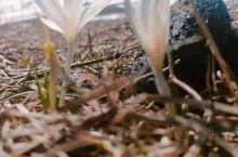 那拉提的野百合,是我见过*纯洁的花朵。