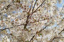 美丽的家乡,一朵朵樱花满天飞舞,空闲时小亭子坐一坐,都是不错的选择,心情不好使看一看风景,瞬间心情就
