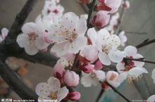 青海贵德的梨花