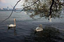 多伦多岛公园,湖里游天鹅,到处是游船