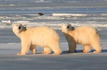 丘吉尔的追寻北极熊之旅