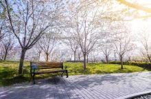 龙湖现象级赏樱爆款,打开山东全域旅游发展新思路!