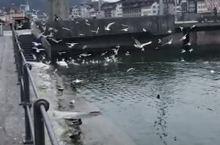 琉森湖畔的天鹅和水鸟🐦