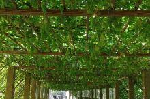 吐鲁番葡萄沟2