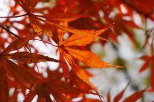 坐高铁赏如火红叶   高铁贯穿大江南北,去看那绚丽的深秋色彩
