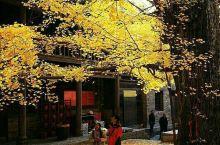 秋色茫茫,一树灿黄