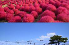 日本最美花海祭—被评为世界50个不可不去之地,秋冬去超浪漫啊
