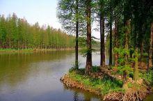 李中水上森林,昔日的人工林地