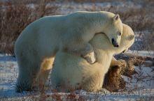 与北极熊的亲密接触—加拿大丘吉尔镇的治愈之旅