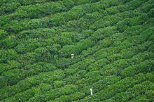 百年历史的金马仑高地美丽茶园