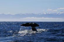凯库拉观鲸