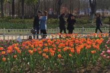 玄武湖公园的郁金香。