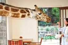 被白色长颈鹿圈粉了?到肯尼亚还可以跟长颈鹿一起吃饭、睡觉、玩亲亲!