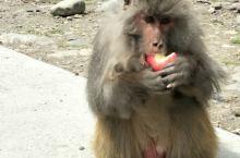 林芝。猴子。桃花