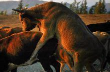 夕阳下牧归的北疆,好色、好黄 新疆深秋的白哈巴,夕阳西下,暮光中的牛群好色、好黄……