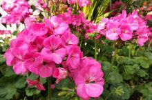 天竺葵,懒人养花的首选